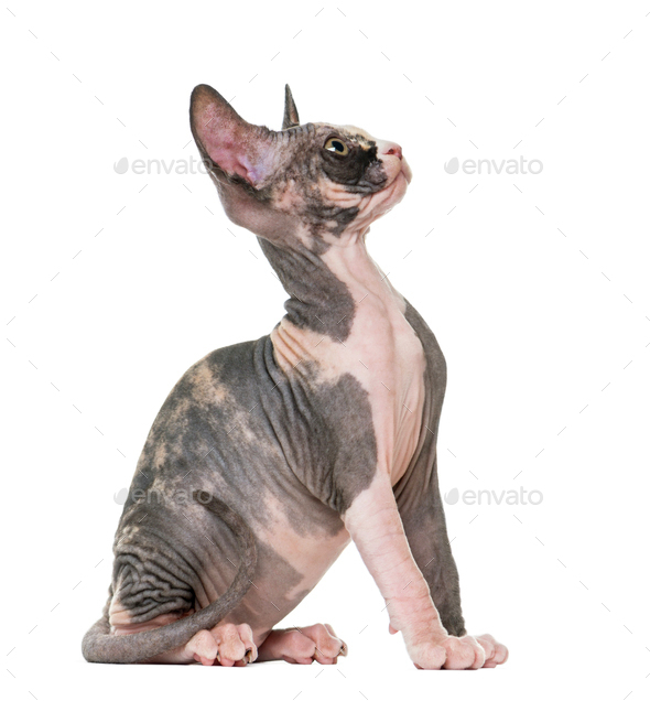 Sphynx kitten sitting and looking up, isolated on white