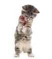 European Shorthair kitten playing, isolated on white