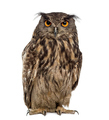 Eurasian eagle-owl (Bubo bubo) in front of a white background