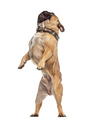 French Bulldog on his hind legs, isolated on white