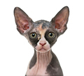Close up of a Sphynx kitten isolated on white
