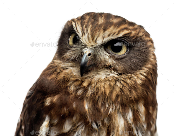 Close-up of a Southern boobook (Ninox boobook) in front of a white background - Stock Photo - Images