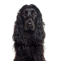 Close up of an English Cocker Spaniel isolated on white