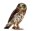 southern boobook (Ninox boobook)with jesses in front of a white background
