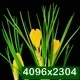 Yellow Crocus Flower Blooming - VideoHive Item for Sale