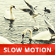 Swans Seagulls Ducks Pigeons by the River - VideoHive Item for Sale