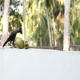 Crow Sit near Coconut - VideoHive Item for Sale