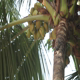 Indian Rat-Squirrel Sitting on Green Palm Tree - VideoHive Item for Sale