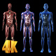 Muscular System - VideoHive Item for Sale
