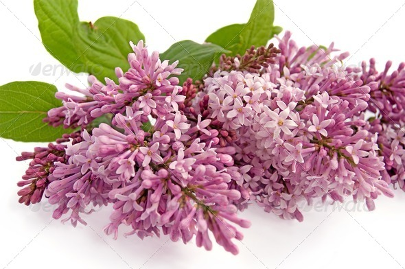 Lilac bud - Stock Photo - Images