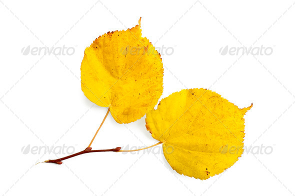 Sprig of linden - Stock Photo - Images