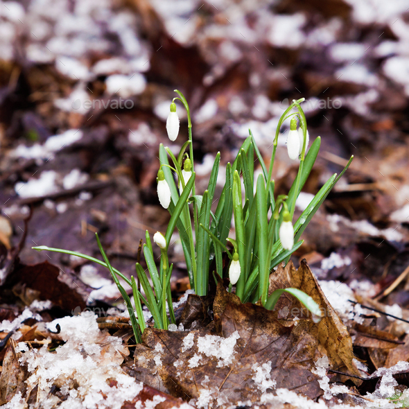 Snowdrop Galanthus Nivalis First Spring Flowers Snowdrops In