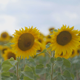 Field of Sunflowers Pack - VideoHive Item for Sale