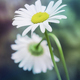 chamomile in nature - PhotoDune Item for Sale