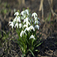 Snowdrops Part 1 - VideoHive Item for Sale