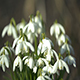 Snowdrops Part 2 - VideoHive Item for Sale