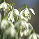 Snowdrops Part 3 - VideoHive Item for Sale