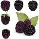 Blackberries Over White - GraphicRiver Item for Sale