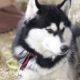 Husky Dogs Portrait  - VideoHive Item for Sale