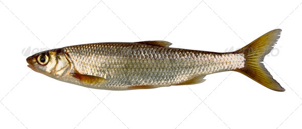 Common dace - Stock Photo - Images