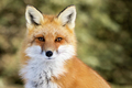 Red Fox - Vulpes vulpes - PhotoDune Item for Sale
