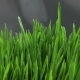 Growing Green Grass - VideoHive Item for Sale