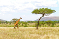 Large giraffe walks at the plains of Africa