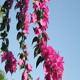Bougainvillea And Blue Sky I - VideoHive Item for Sale