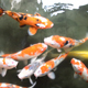 Colorful Koi fish  - VideoHive Item for Sale