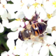 Bee Pollinates Flowers in Italian Spring - VideoHive Item for Sale