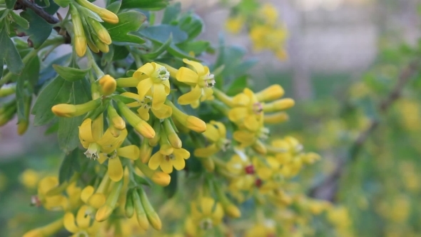 Yellow flowers of currant by iproname videohive play preview video mightylinksfo
