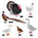 Set of Domestic Fowl - GraphicRiver Item for Sale