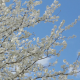 Spring Day Background with Flower Tree - VideoHive Item for Sale