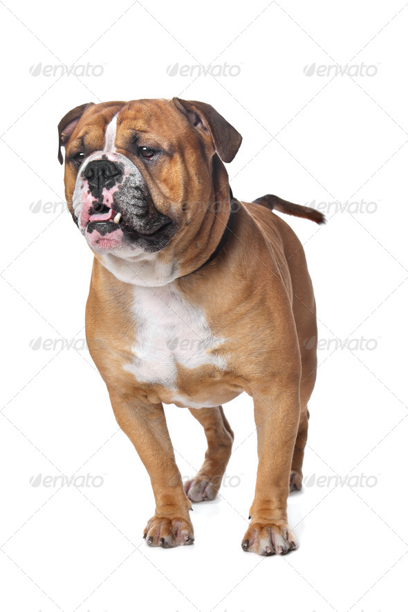 Old English Bulldog - Stock Photo - Images