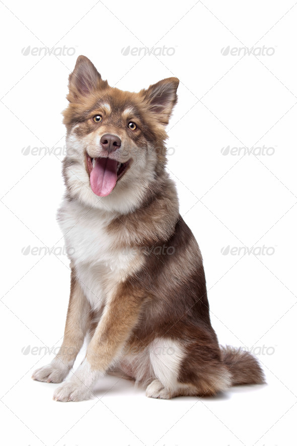 Finnish Lapphund puppy - Stock Photo - Images