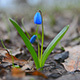 Blue Snowdrops Flower in the Forest 1 - VideoHive Item for Sale
