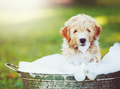 Adorable Cute Golden Retriever Puppy - PhotoDune Item for Sale