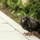 Wet Pigeon On Asphalt - VideoHive Item for Sale