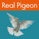 Real Pigeon Package - VideoHive Item for Sale