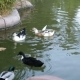 Duck Swimming In Pond - VideoHive Item for Sale