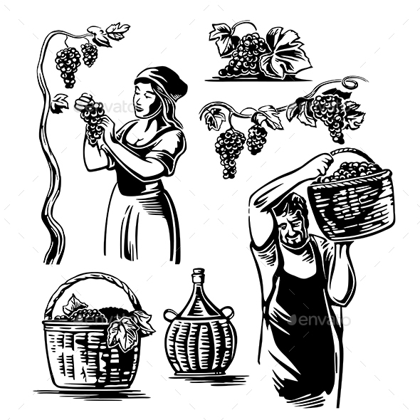 Men and Women Harvest the Grapes in the Vineyard - People Characters