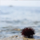 Sea Urchin, Rock and Wave - VideoHive Item for Sale