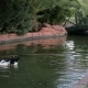 Duck Swimming In Pond In The Park - VideoHive Item for Sale