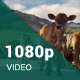 Group of Calves - VideoHive Item for Sale