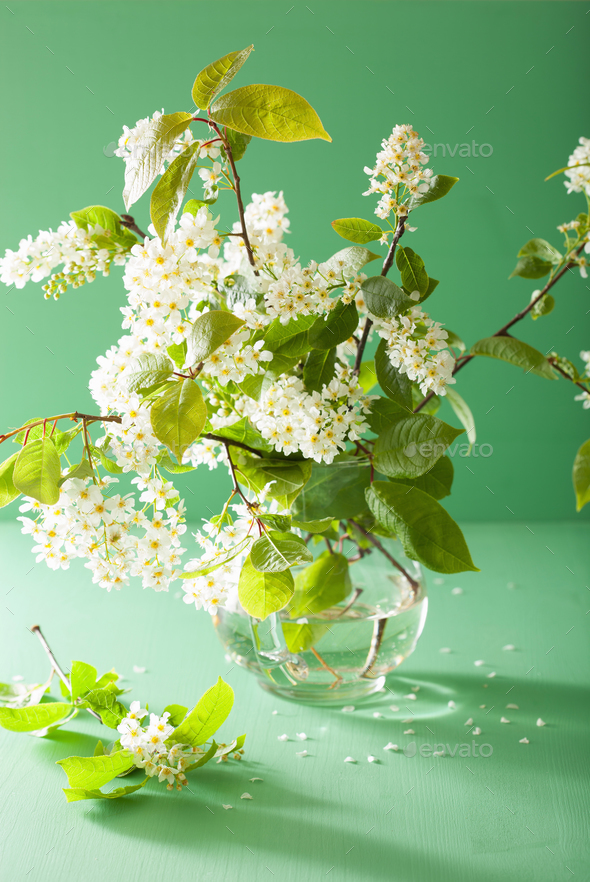 bird-cherry blossom in vase over green background - Stock Photo - Images