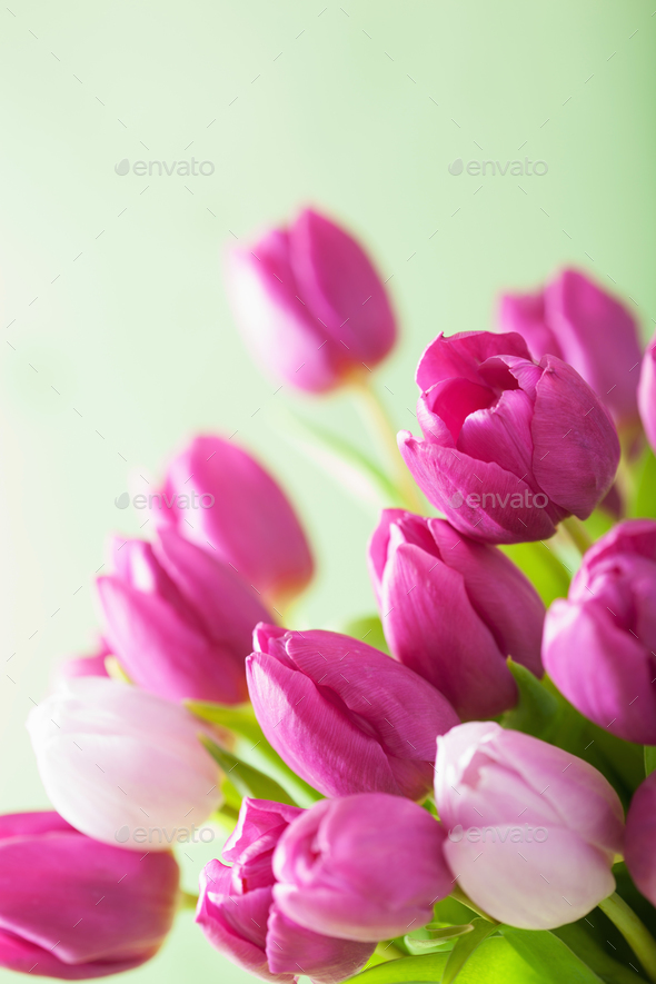 beautiful purple tulip flowers background - Stock Photo - Images