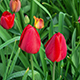 Red Tulip Flower - VideoHive Item for Sale