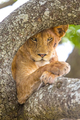 Close up of lion with wild eyes rests in tree