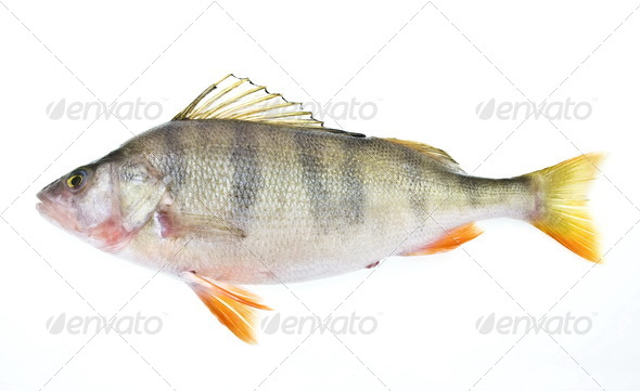 Perch - Stock Photo - Images
