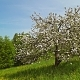 Blossoming & Fading Apple Tree - VideoHive Item for Sale